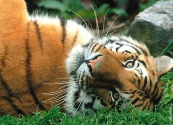 тигры юмор