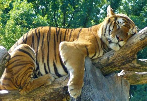 фото тигров приколы