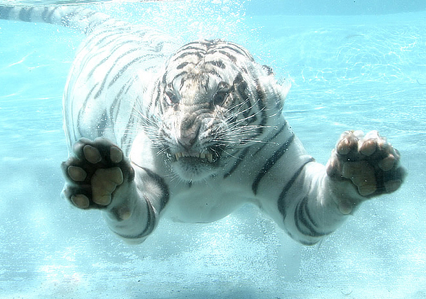 приколы о тиграх